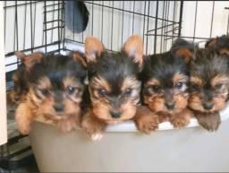 Filhotes de Yorkshire Mini Terrier