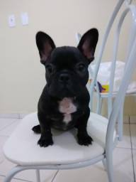 Filhote de Bulldog francês - 3 meses