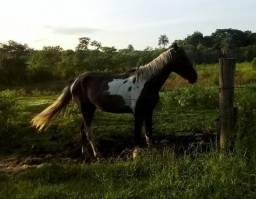 Cavalo Pampa (branco e preto)