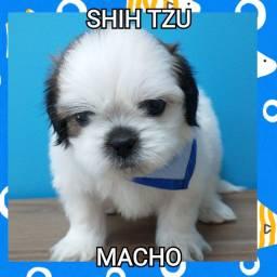 Shih Tzu com Garantia e Procedência