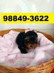 Canil Filhotes Pet Cães BH Yorkshire Poodle Lhasa Beagle Maltês Basset Shihtzu