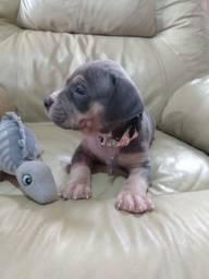 PitBull monster filhotes disponíveis