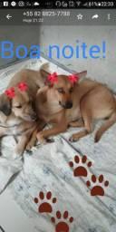 Duas cadelas castradas