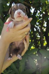 Filhotes de American Pitbull Terrier Red nose