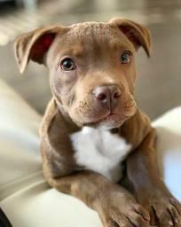 Pitbull, fêmeas e machinhos, já vacinados e com todas as garantias em contrato.