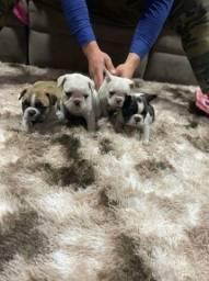 Filhotes de bulldog frances a pronta entrega