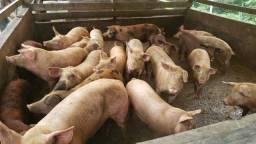Vendem-se porcos.