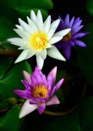 Plantas aquáticas, ninféia e flor de lotus
