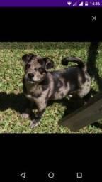 Estou doando esta cadelinha chow-chow com australiano 4 meses