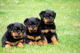 Rottweiler Cabeça de Touro P/Entrega Lindos Filhotes