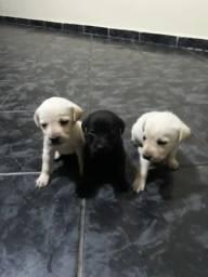 Filhotes de labrador puro !