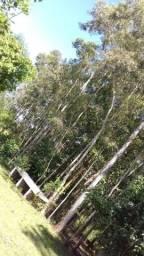 Vendo eucalipto