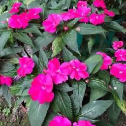 Sunpatiens flor cores -branca/rosa/vermelha/violeta