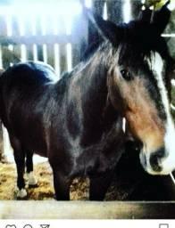 Troco cavalo Crioulo