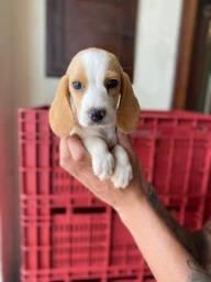 Beagle - Fofura de filhotes