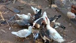 Vendo Galinhas e Patos Trindade