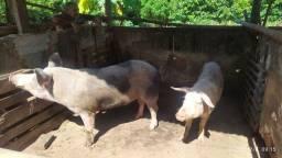 Porco reprodutor e matriz raça pietrain..