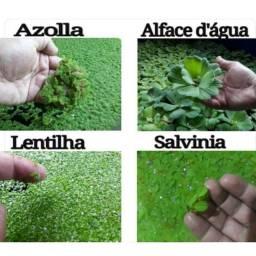 Plantas aquáticas super promoção