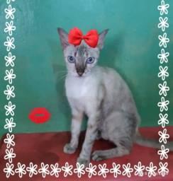 Gatos e gatas castradas Para adocao