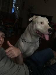 Pitbull pra cruza american terrier puro
