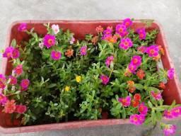 Vendo mudas de flores onze horas