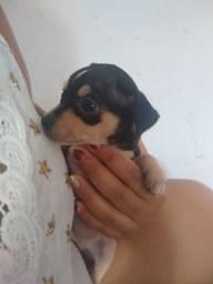 Filhote de Pinscher 1 muito pequenas