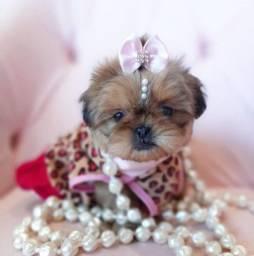 Beleza, luxo e desejo shih tzu fêmea a mais bela gaúcha