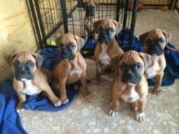 Boxer - Filhotinhos lindos disponiveis a pronta entrega.