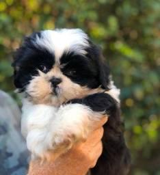 Shih Tzu com garantias e suporte veterinário gratuito !