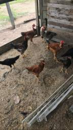 Vende se frangos e pintos caipira tamanho medio