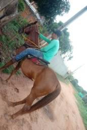 Cavalo QM C/Árabe
