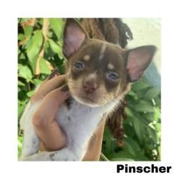 Pinscher com pedigree e microchip em até 12x