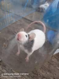 Ratinhos, ratos topolinos, hamster