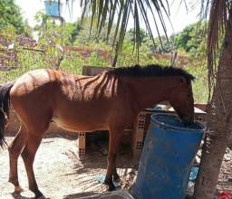 Filhote de cavalo