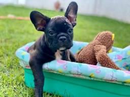 Lindos e fofos filhotes Machos Bulldog francês