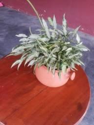 Vende se plantar  taja lindo essa planta *