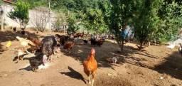 Vendo galinha caipira, perú, ganso, Angola