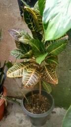 Plantas excelente para enfeitar seu comércio e casa (leia o anúncios)