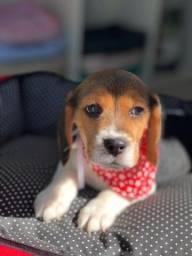 filhote de beagle machinho ! docil e inteligente