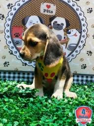 lindos fiilhos de beagle