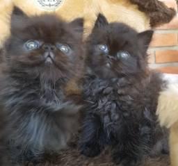 Filhotes De Gato Persa - Macho Black