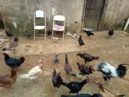 Vende-se galinha e pintinhos caipiras