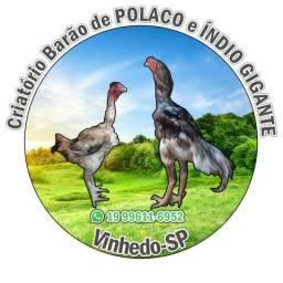 Galo indio bico curto com galinhas india