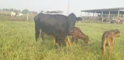 Vendo vacas leiteiras paridas muito boa