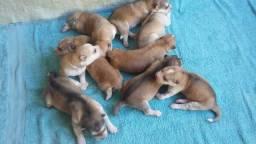 Vende-se husky siberiano