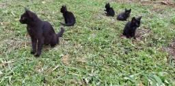 Doação de gatinhos pretos lindos