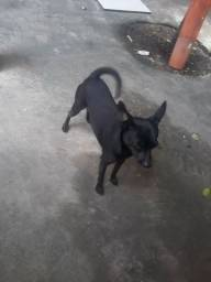 Cachorro pinscher macho