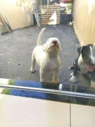 Filhotes de Bull terrier.