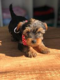 yorkshire terrier micro !!