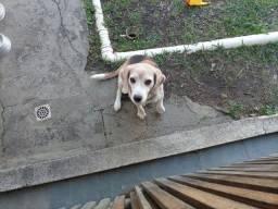Doa-se cachorro da raça Beagle